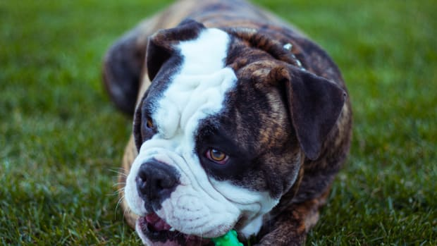 managing-your-diabetic-dog-what-you-need-to-know