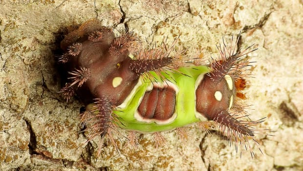 north-american-caterpillars-that-sting
