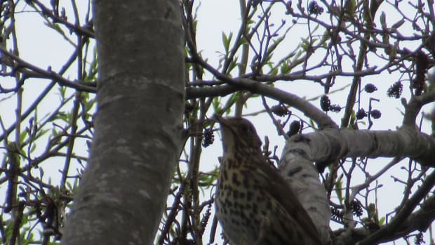 poetry-month-april-song-thrush-musical-magic-a-poem-description-facts-about-thrushes