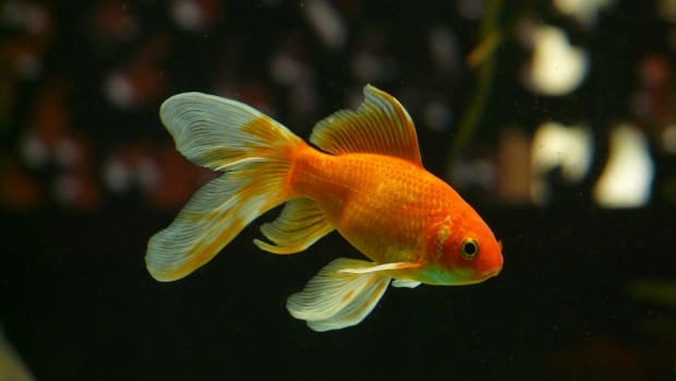 the-best-aquatic-plants-for-goldfish
