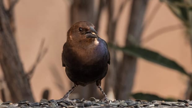 the-story-of-cowbirds-and-why-some-people-hate-them