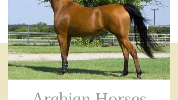 arabian-horse-qualities-history-and-competitions