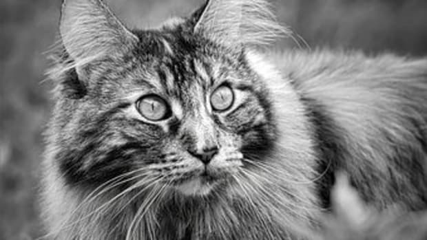 15-astronomical-names-for-maine-coon-cats
