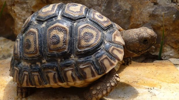 bringing-home-your-baby-leopard-tortoise