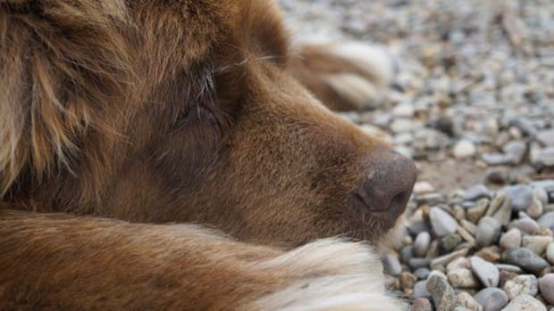 15-great-water-names-for-your-newfoundland-dog