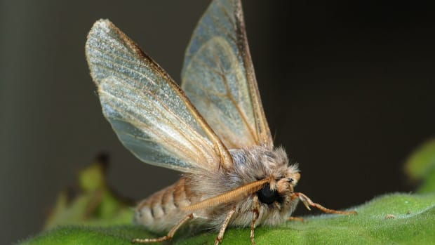 moth-baiting