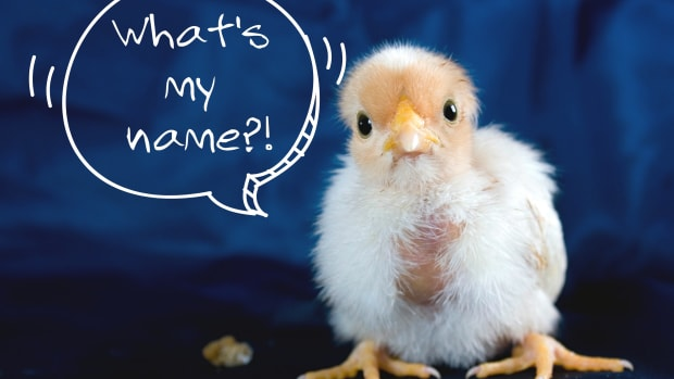 list-of-unique-chicken-names