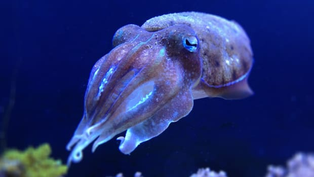 cuttlefish-facts