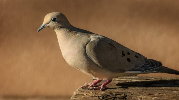 mourning-doves