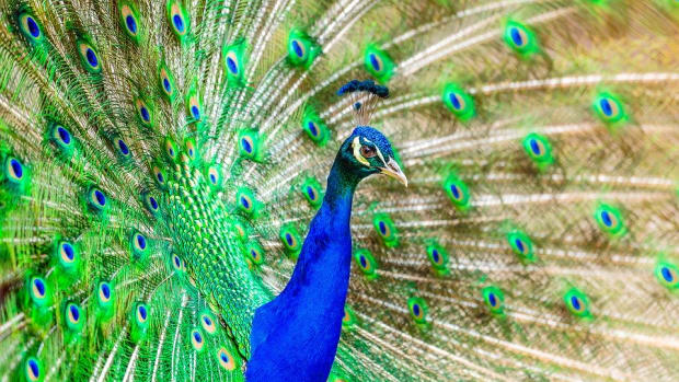 am-i-allowed-to-keep-a-pet-peacock