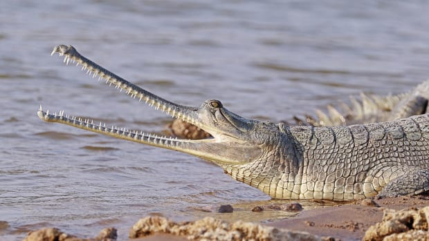 interesting-gharial-facts-that-you-may-not-know