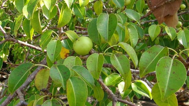 the-manchineel-tree