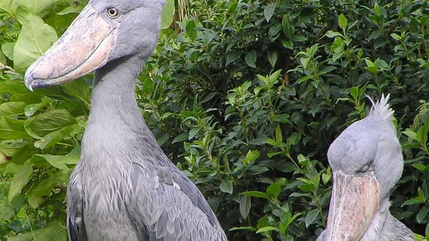 facts-about-the-strange-and-impressive-shoebill-stork
