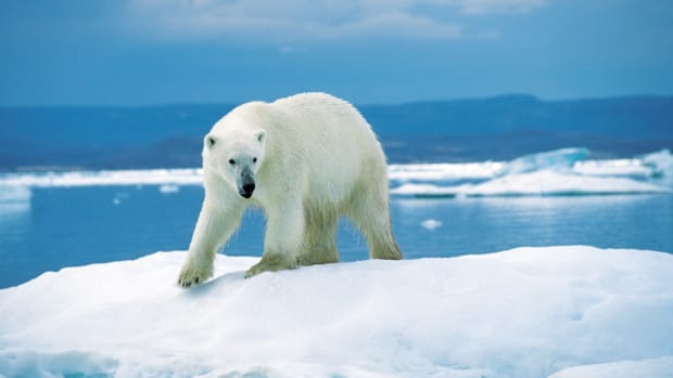 10-facts-about-the-polar-bear