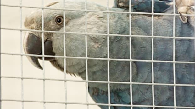 facts-about-the-spixs-macaw-extinct-in-the-wild