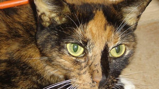 hepatic-lipidosis-in-cats