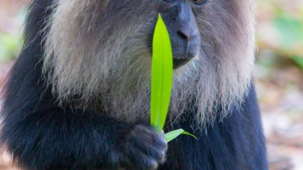 the-endangered-lion-tailed-macaque