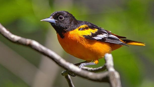 the_beauty_of_orioles