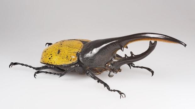 interesting-facts-about-hercules-beetles-genus-dynastes