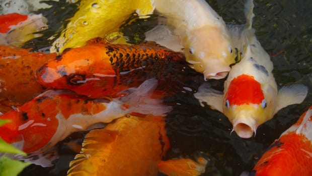 top-5-benefits-youll-get-from-owning-pet-koi