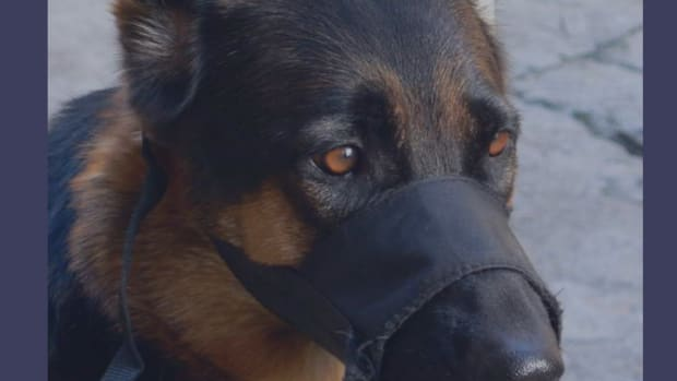 how-to-train-your-dog-to-wear-a-muzzle