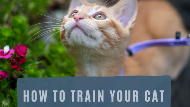 how-to-train-your-cat-to-walk-on-a-leash-or-harness