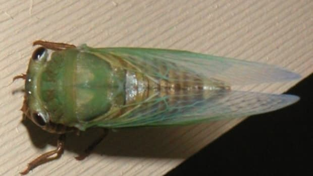 cicada-facts-folklore-and-photos