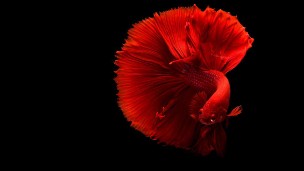 the-bare-basics-of-betta-keeping