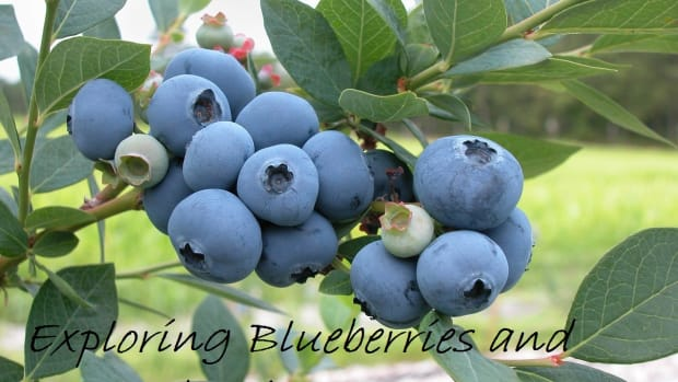 exploring-blueberries-and-huckleberries
