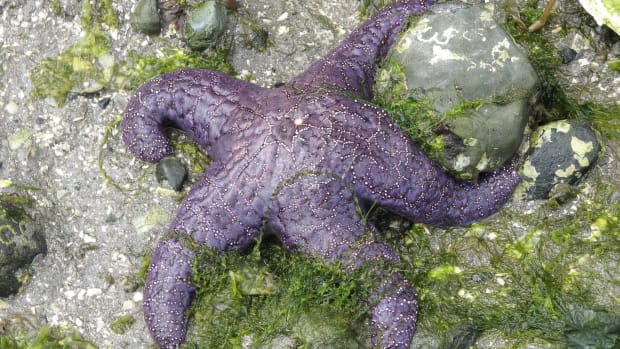 the-ochre-or-purple-sea-star-and-wasting-or-melting-disease
