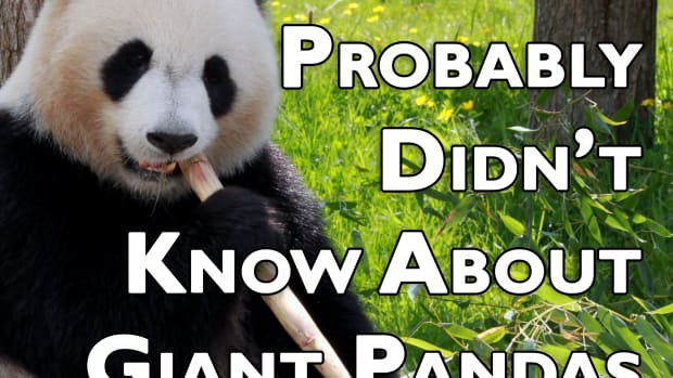 10-things-you-probably-didnt-know-about-giant-pandas