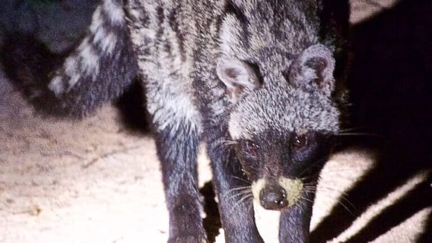 interesting-african-civet-facts-that-you-may-not-know