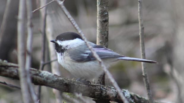 spring-birds-in-kingston-ontario-a-photo-essay
