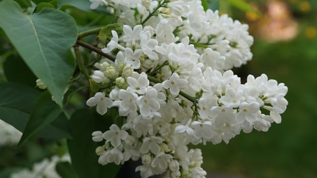white-lilacs