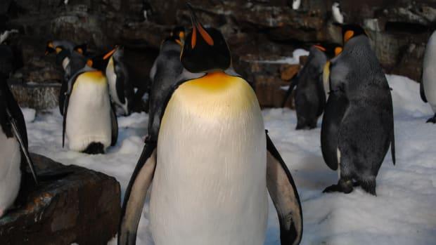penguin-a-haiku