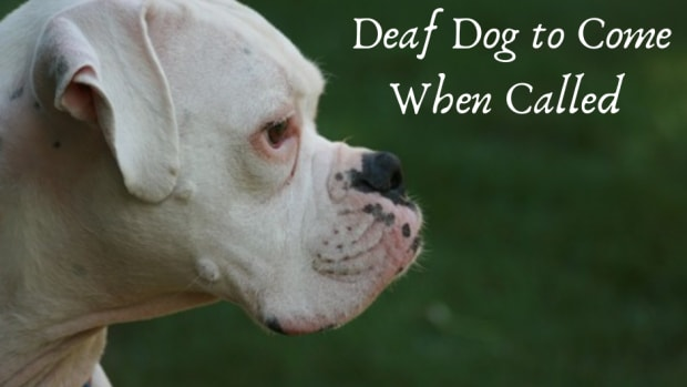 how-to-train-a-deaf-dog-to-recall-come-when-called