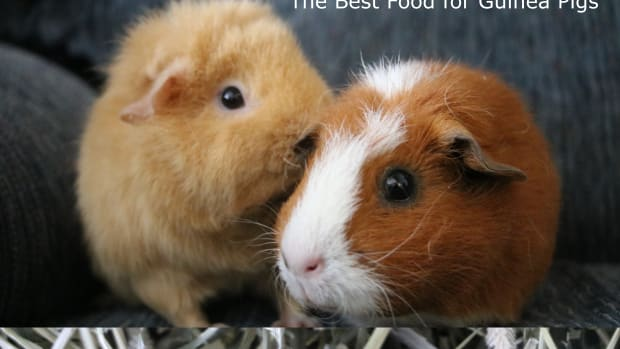 the-best-guinea-pig-diet