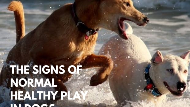 signs-of-healthy-normal-play-in-dogs