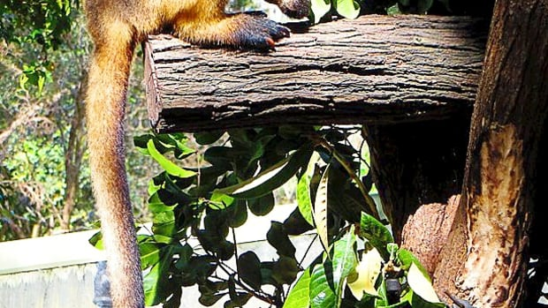 lumholtzs-tree-kangaroo-facts-that-you-may-not-know