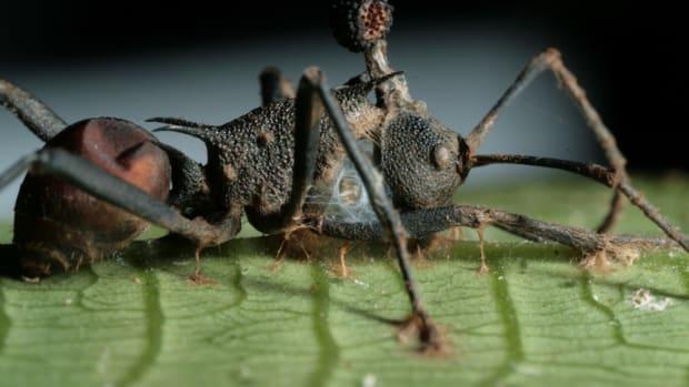 cordyceps-and-zombie-ants