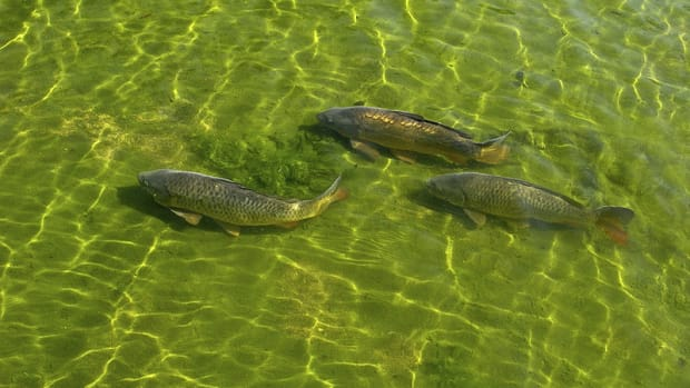 flats-fly-fishing-for-carp-in-the-snake-rivers-illia-dunes-state-park