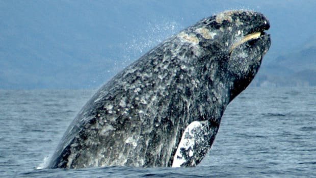 gray-whales-a-brief-analysis