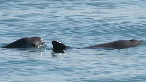 most-endangered-marine-animals
