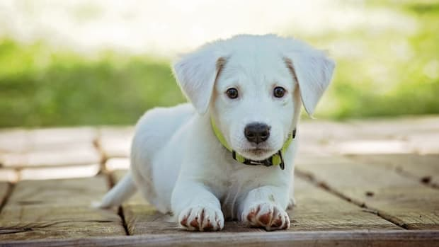 220-cute-white-dog-names-with-meanings-for-your-puppy