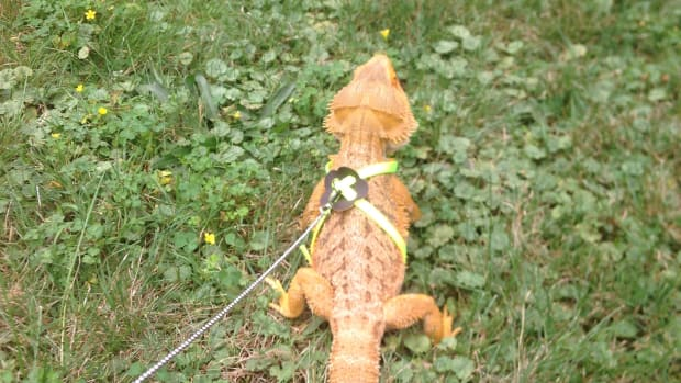 8-enrichment-activities-for-bearded-dragons