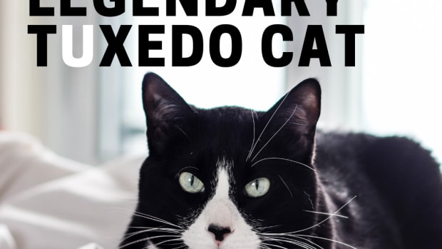 the-legend-of-the-tuxedo-bicolor-cat