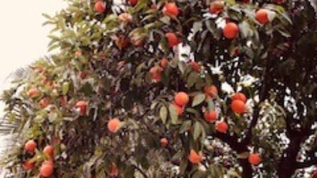 the-delight-of-the-orange-trees