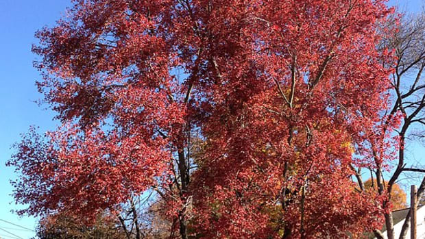 interesting-facts-about-maple-trees-types-and-characteristics