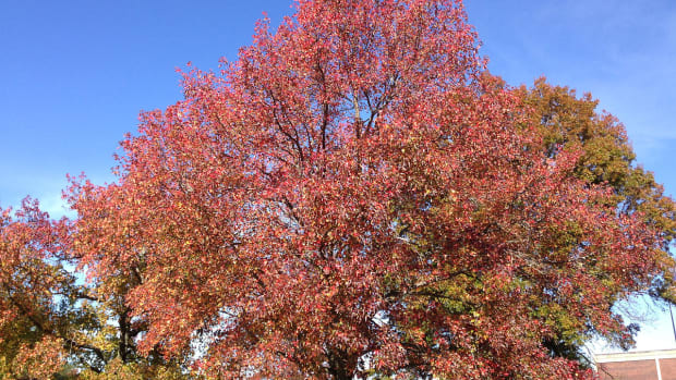 sweet-gum-or-liquidambar-styraciflua-an-ornamental-tree-in-bc