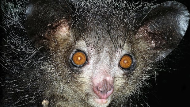 the-strange-aye-aye-lemur-of-madagascar-and-its-pseudothumb